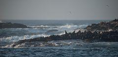 die Bewohner von Seal Island