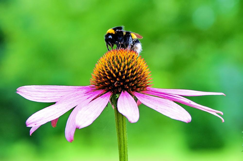 Die Biene bei der Arbeit