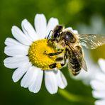 Die Biene...