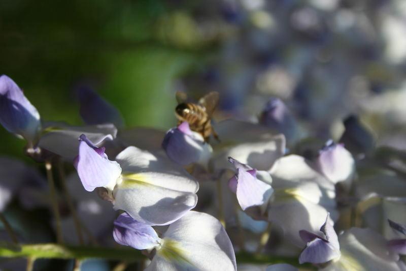 Die Biene im Garten