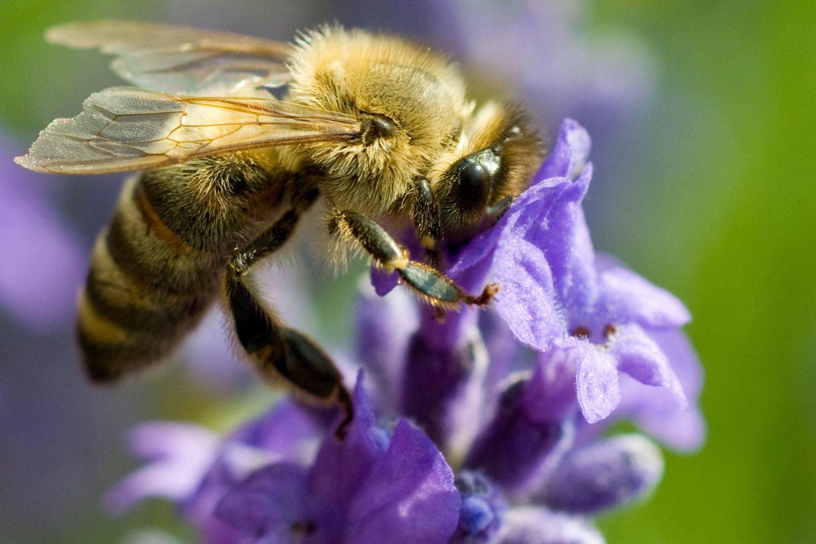 die biene im lavendel foto bild tiere wildlife insekten bilder auf fotocommunity. Black Bedroom Furniture Sets. Home Design Ideas