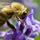 Die Biene im Lavendel