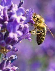 Die Biene im Lavendel zwo