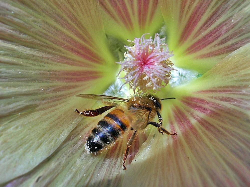 Die Biene ist hart an der Arbeit.