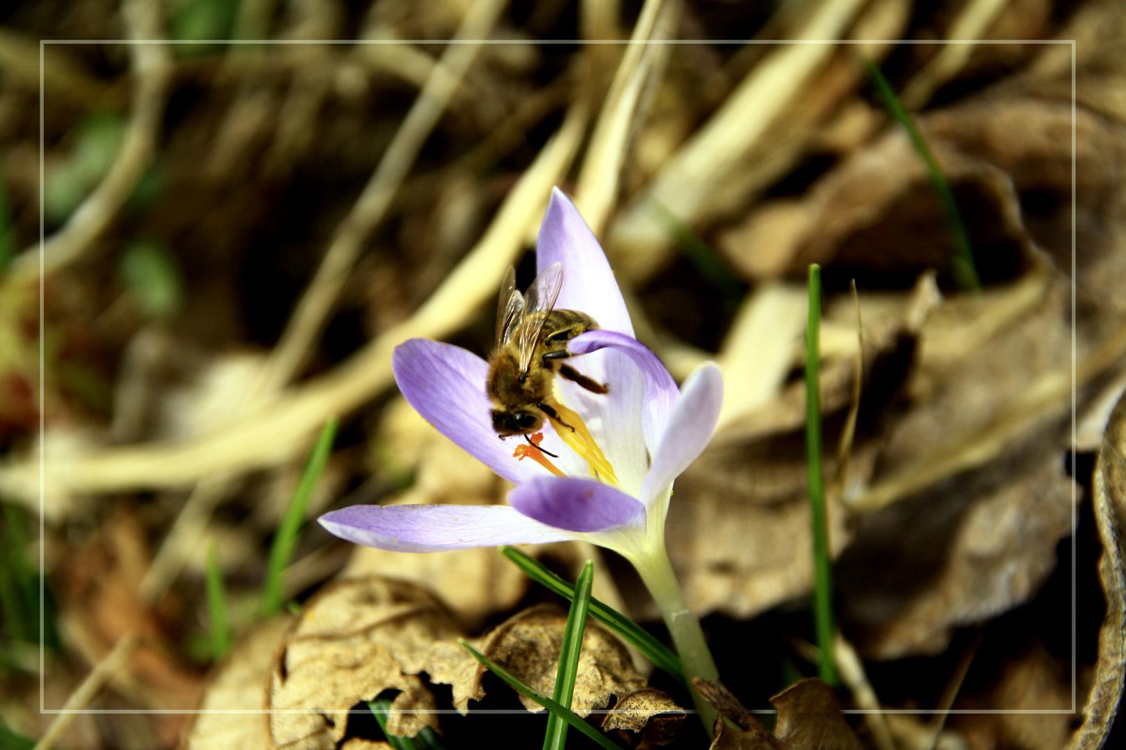 Die biene sorgt für guten Honig :)