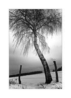 die Birke im Schnee