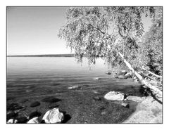 Die Birke vom Ozero Imandra