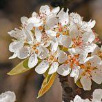 Die Birnen blühen auch schon...