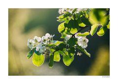 Die Birnenblüten ...
