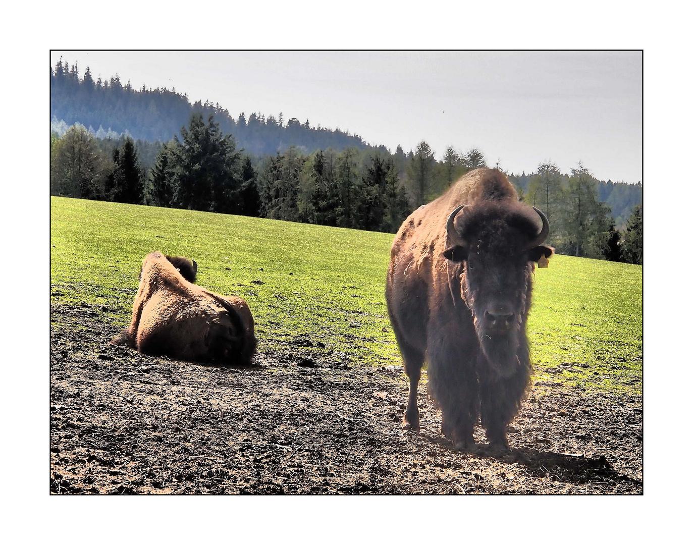 Die Bisons von Sichersreuth