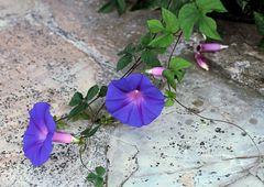 *die blaue Blume*
