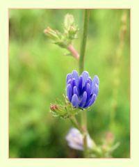 Die blaue Blume der Romantik
