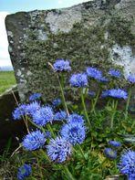 Die blaue Blume der Sehnsucht