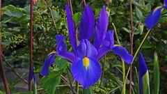Die blaue Iris begrüßt uns jetzt auch wieder und meint auch das ...