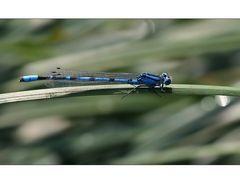 Die blaue Libelle