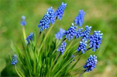 die blaue Muscari