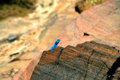Die blaue Sinai-Agame fühlt sich wohl in Petra