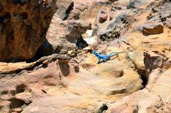 Die blaue Sinai-Agame in Petra