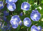 Die blauen Blumen der Romantik - zum Wochenende