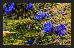 Die blauen,die im Kornfeld wohnen 10