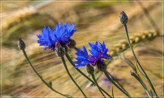 Die blauen,die im Kornfeld wohnen 2