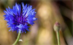 Die blauen,die im Kornfeld wohnen 4