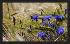 Die blauen,die im Kornfeld wohnen 7