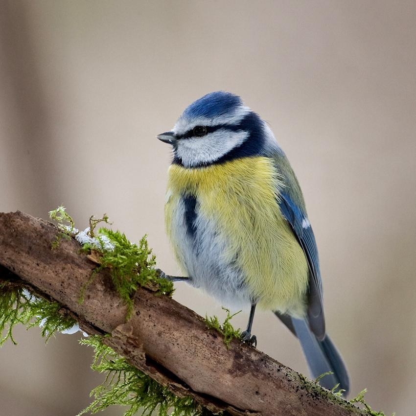 Die Blaumaise