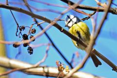 Die Blaumeise (Parus caeruleus)