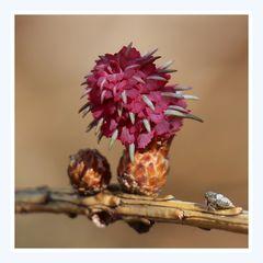 Die Blüte der Lärche (1)