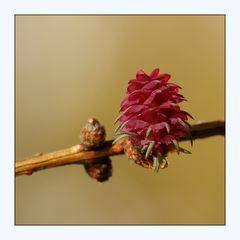 Die Blüte der Lärche (2)