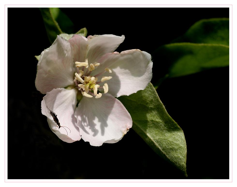 die Blüte der Quitte ...