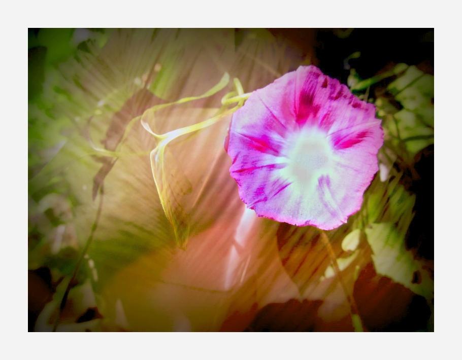 die Blüte der Winde