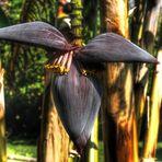 Die Blüte einer Bananenpalme