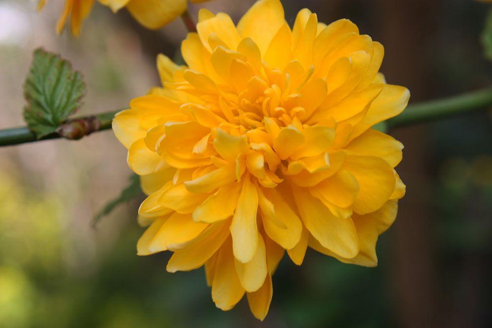Die Blüte einer Strauchranunkel