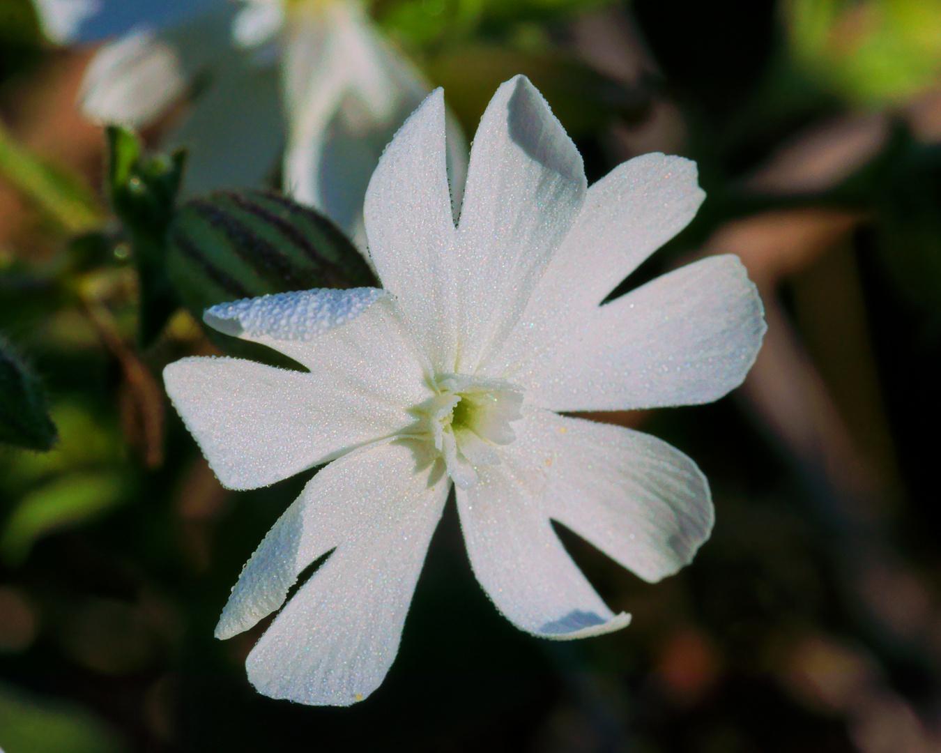 Die Blüte einer taubenetzten Weißen Lichtnelke