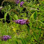 Die Blüte geht von den Zweigen (Buttleia) zu Ende.
