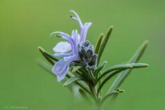 Die Blüten des Rosmarin