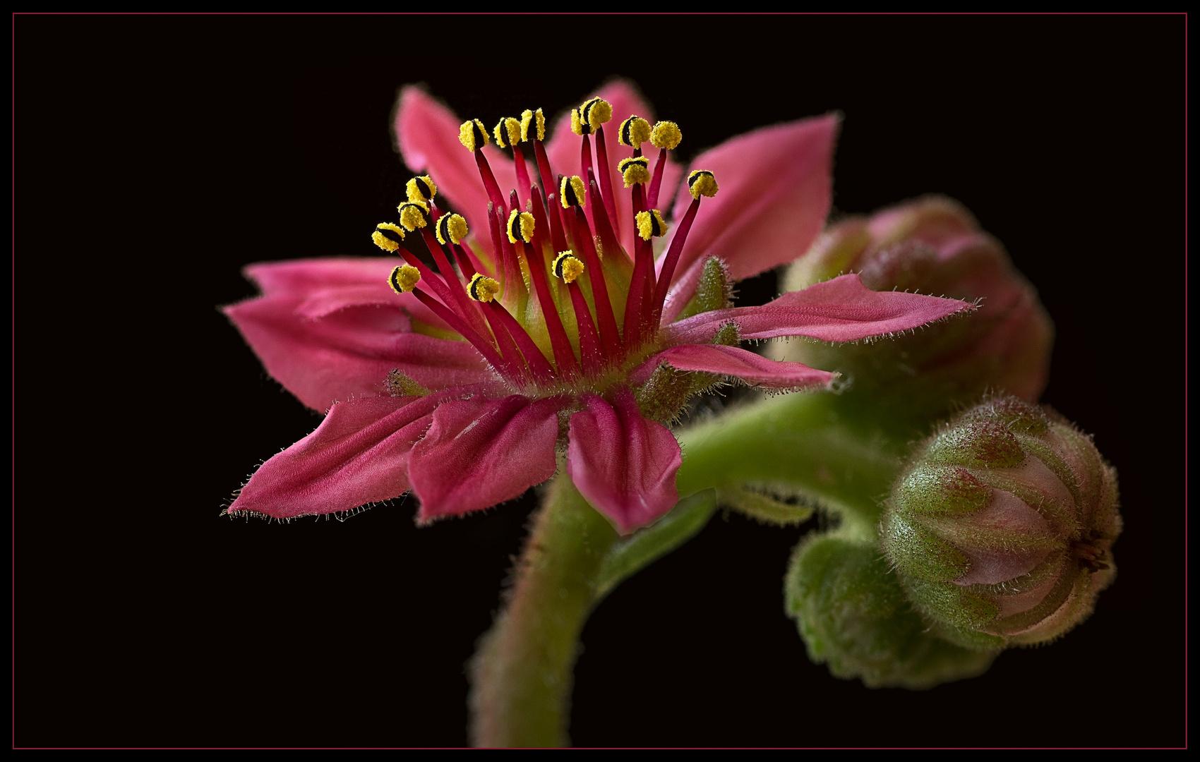 Die Blüten vom Hauswurz sind winzig .. aber wunderschön