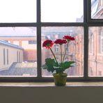 Die Blume am Fenster ......