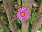 Die Blume am Zaun