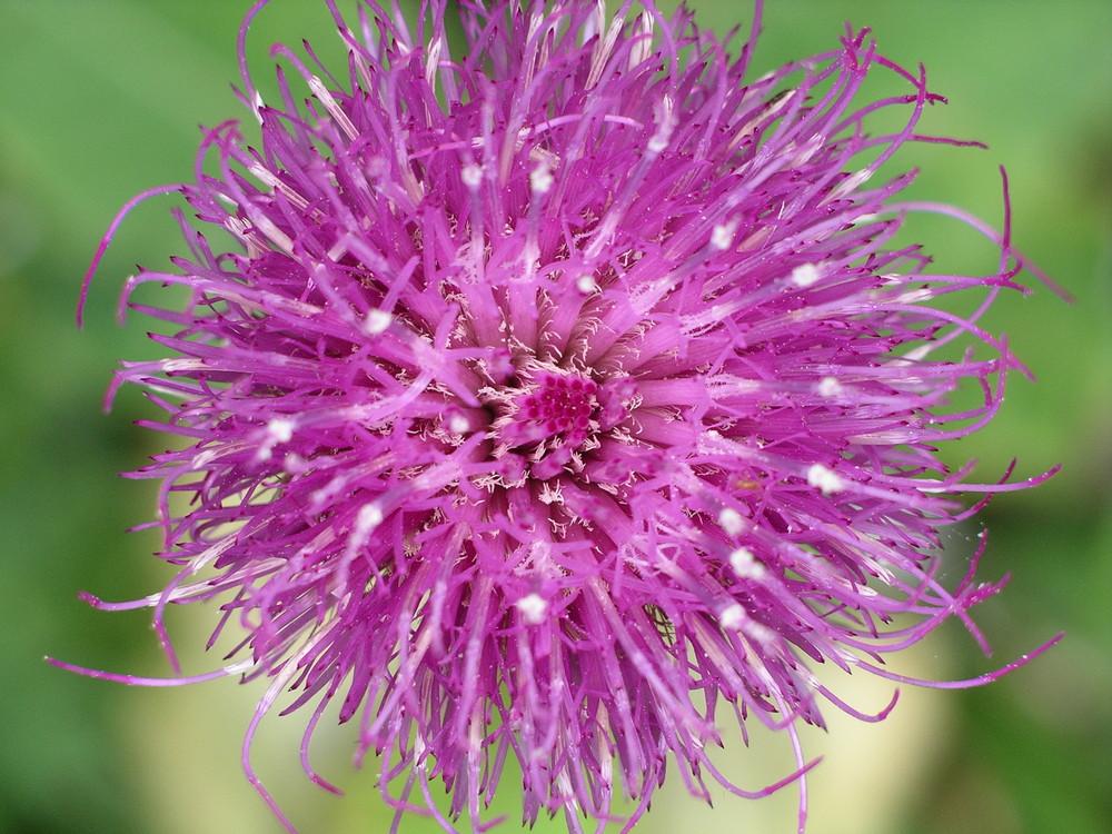 Die Blume des Jahres 2008