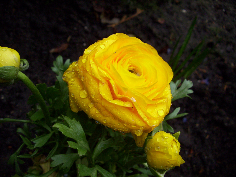 Die Blume in Gelb2........