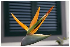 Die Blume Madeiras, Strelitzia reginae