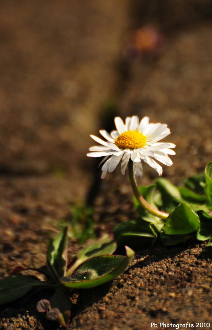 Die Blume namens Gans