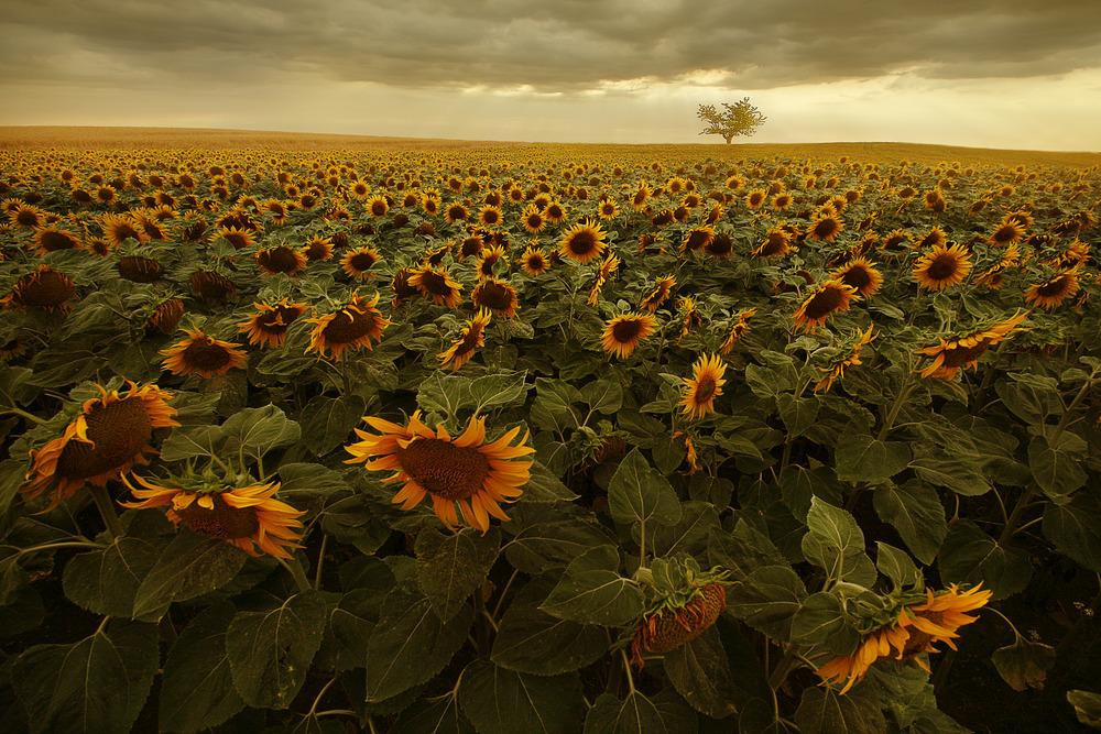 Die Blumen der Sonne blühen wieder