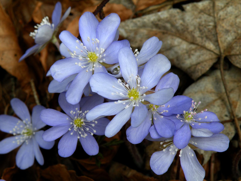 Die Boten des Frühlings ....