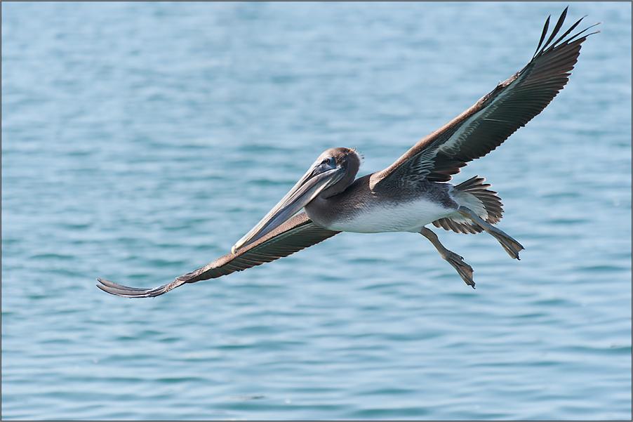 die braunen pelikane