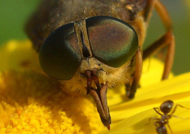 Die Bremse und die Ameise