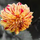 Die brennende Blume !